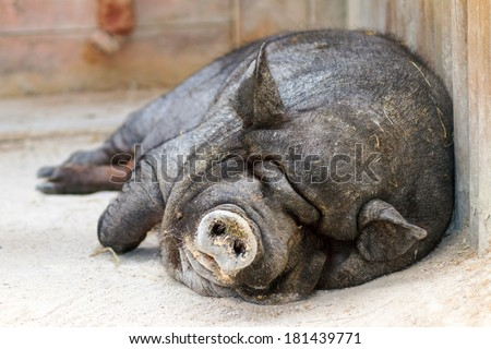 Very lazy, cute and beautiful pot-bellied pig taking a nap - stock photo
