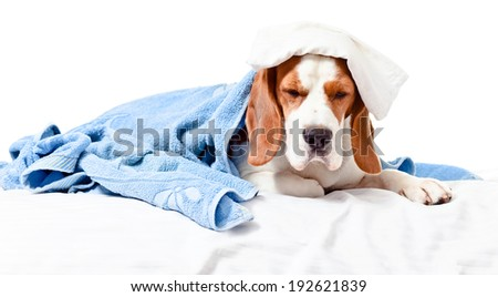 Very much sick dog , isolated on  white background.