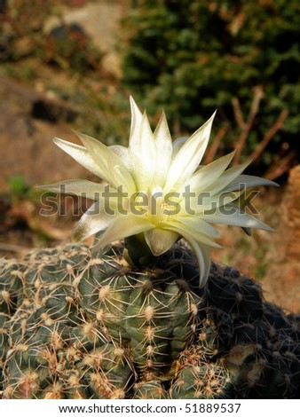 very nice detail of a blooming cactus - stock photo