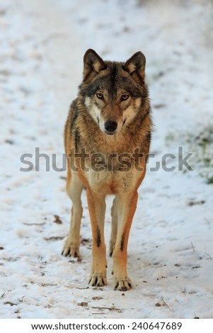 very nice Eurasian wolf  - stock photo