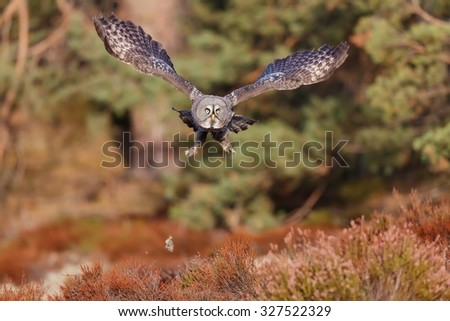 very nice flying Great Grey Owl - stock photo
