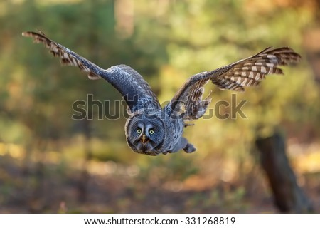 very nice picture with flying Great Grey Owl - stock photo