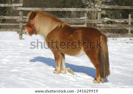 Very nice pony horse standing winter time in a beautiful sunny day rural scene - stock photo