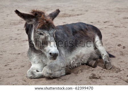 very old donkey lying in the sand
