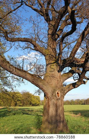 very old oak tree in green meadow - stock photo
