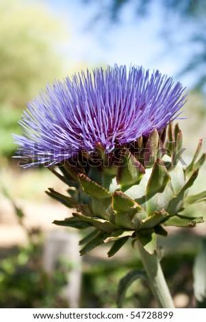 Very pretty organic purple artichoke flower in bloom - stock photo