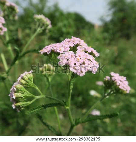 very rare pink Achillea millefolium usually there this plant in white - stock photo