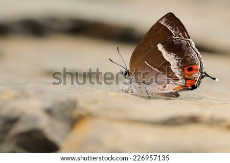 Very rare small brown butterfly on a white rock in Taiwan - stock photo