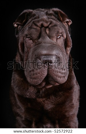 Very Serious Dog Portrait on Black Background - stock photo