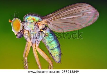 Very sharp and detailed macro photo of small metallic fly taken with macro objective stacked from many shots into one very sharp photo. - stock photo