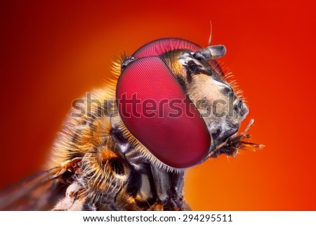 Very sharp and detailed study of Hoverfly head stacked from many images into one very sharp photo.  - stock photo