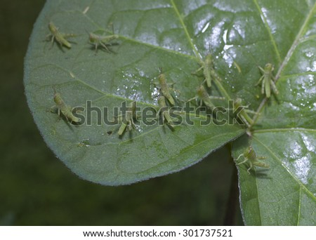 Very small grasshoppers spreading out to eat on a leaf - stock photo