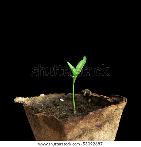 Very small green plant with little leafs sprouting. Isolated on black background. - stock photo