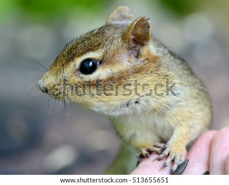 Very trusting older female chipmunk touching a hand