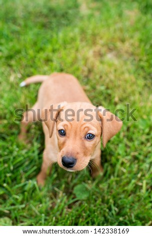 Very Young Dachshund and Hound mix Puppy Carefully Exploring Backyard on Green Grass - stock photo