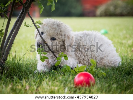 Very young Hungarian kuvasz puppy