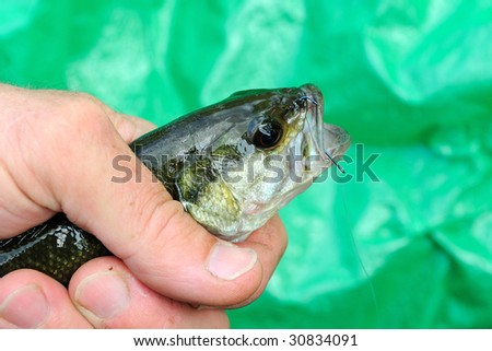 Very Young Largemouth Bass