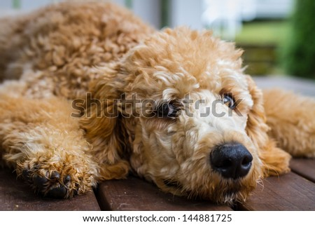 Very young Poodle waking up from a nap - stock photo