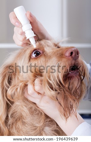 Vet applying eye drops to a red dog