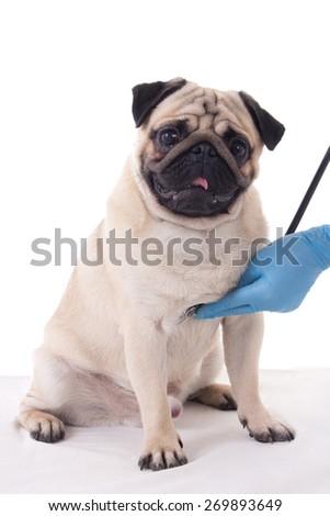 vet checking pug dog with stethoscope isolated on white background - stock photo