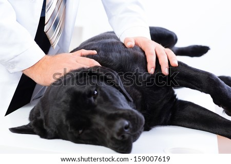 vet checks the health of a dog, that is on the table - stock photo