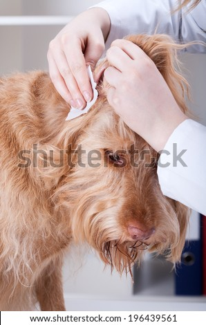 Vet cleaning red dog's ear at veterinary clinic - stock photo