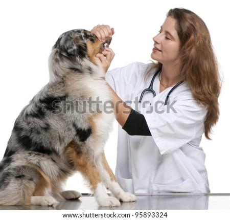 Vet examining an Australian Shepherd in front of white background - stock photo