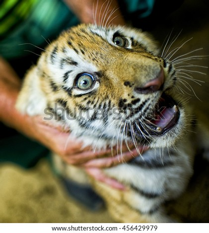 Vet Examining young tiger(2 m)  in zoo - stock photo