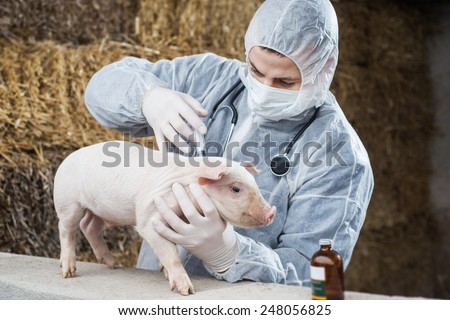 Vet gives a piglet vaccine. - stock photo