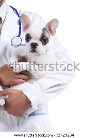 vet hands holding a Boston Terrier dog (isolated on white) - stock photo