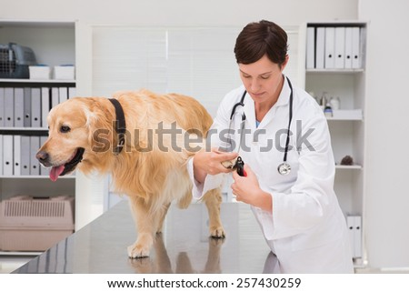 Vet using nail clipper on a labrador in medical office