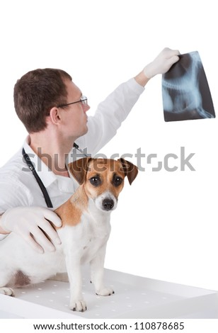 Vet with dog is holding X-ray image. Jack Russel terrier and veterinarian doctor on white