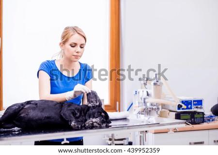 Veterinarian at veteringary clinic examining dog with sore ear. - stock photo