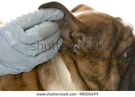 veterinarian checking dogs ear in health examination on white background - stock photo