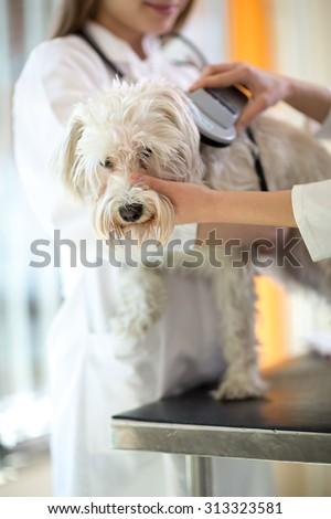 Veterinarian checking microchip implant on Maltese dog in vet clinic - stock photo