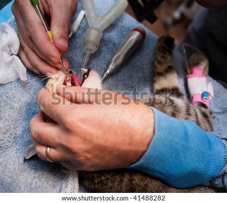Veterinarian cleaning teeth on a small pet cat - stock photo