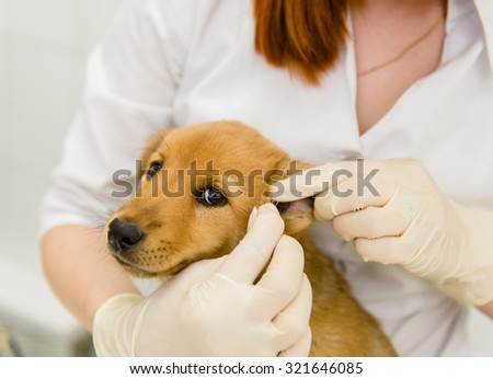 Veterinarian cleans ears dog - stock photo