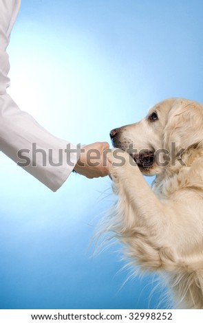 veterinarian doctor holding the paws of a golden retriever dog