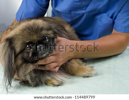 veterinarian doctor making a checkup of a pekingese - stock photo