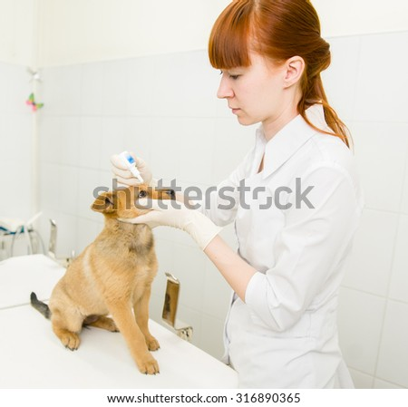 veterinarian dripping drops to the puppy eye in clinic - stock photo