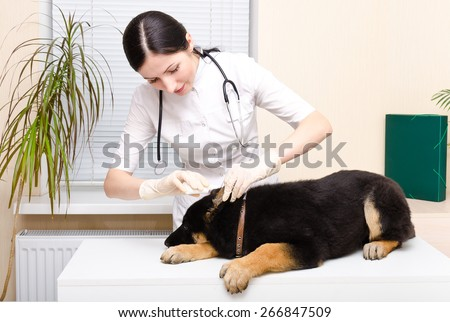 Veterinarian dripping ear puppy German Shepherd - stock photo