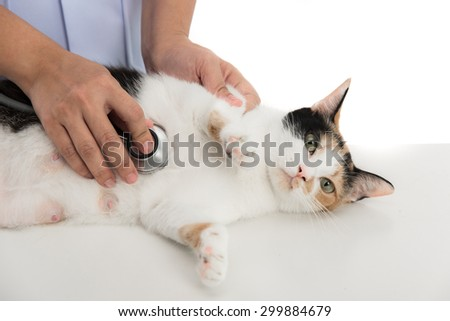 veterinarian examines a calico cat on white background isolated - stock photo