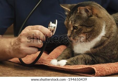 Veterinarian Examines a Large Tabby Cat - stock photo