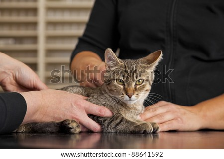 veterinarian examining a domestic cat - stock photo