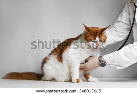 Veterinarian examining a kitten  Maine Coon in animal hospital - stock photo