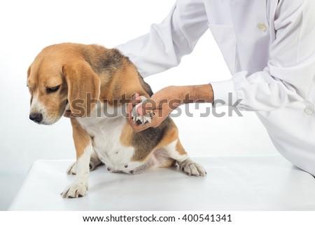Veterinarian examining beagle dog on white background - stock photo