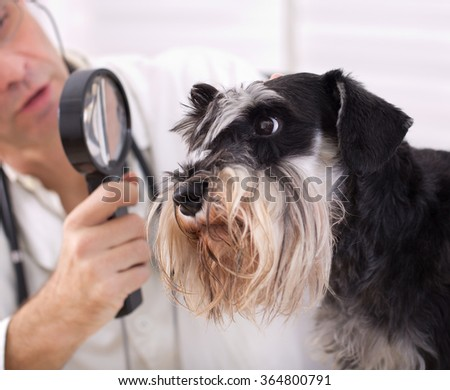 Veterinarian examining dog's ear with magnifier. Close up of miniature schnauzer head