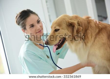 Veterinarian examining dog's heartbeat - stock photo