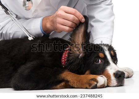 Veterinarian examining ears of dog - stock photo