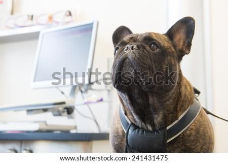 Veterinarian examining French Bulldog - stock photo